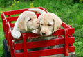 Puppies in red cart Royalty Free Stock Photo