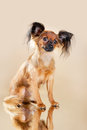 Puppies russian toy terrier on a light brown background Stock Images