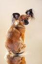Puppies russian toy terrier on a light brown background Royalty Free Stock Image
