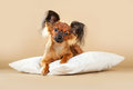 Puppies russian toy terrier on a light brown background Royalty Free Stock Images