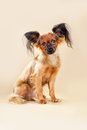 Puppies russian toy terrier on a light brown background Royalty Free Stock Photos