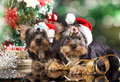 Puppies in a santa hat yorkshire terrier Stock Photography