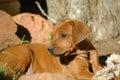 Puppy Стоковые Изображения