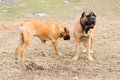 Puppy and adult bullmastiff two dogs junior play outside in the park Stock Photography