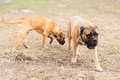 Puppy and adult bullmastiff two dogs junior play outside in the park Stock Photos