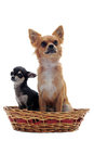 Puppy and adult chihuahua Royalty Free Stock Photo
