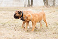 Puppy and adult dogs two junior bullmastiff play outside in the park Royalty Free Stock Images