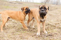 Puppy and adult dogs two junior bullmastiff play outside in the park Stock Image
