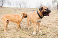 Puppy and adult dogs two junior bullmastiff play outside in the park Stock Images