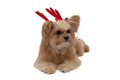 Puppy with antler cute mixed breed dog red isolated in white background clipping path Royalty Free Stock Photo