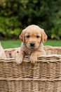 Puppy in a basket golden retriever wicker Stock Image