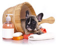 Puppy bath time french bulldog in wooden wash basin with soap suds Royalty Free Stock Images