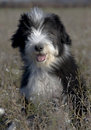 Puppy bearded collie Stock Photos
