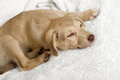 Puppy a beautiful lying on white bedding Stock Photo