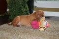 Puppy with big bone Royalty Free Stock Photo