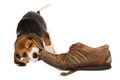 Puppy biting shoe seven weeks old cute little beagle chewing on an old Royalty Free Stock Photography