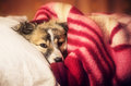 Puppy in blanket a young dog resting a red Royalty Free Stock Image