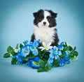Puppy blues a sweet australian shepherd sitting in the middle of blue flowers on a blue background Stock Images
