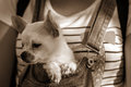 Puppy in the bosom of the girl. sepia background Royalty Free Stock Photo