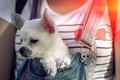 Puppy in the bosom of the girl at sunset Royalty Free Stock Photo