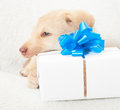 Puppy and box with blue bow white a Royalty Free Stock Photography