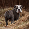 Puppy bulldog nine weeks in the tall dead grass in spring Royalty Free Stock Image