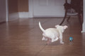 Puppy chasing a ball white chihuahua Stock Photo