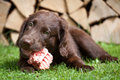 Puppy it a chicken carcass flat coated retriever eats Royalty Free Stock Photos