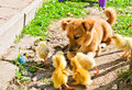 Puppy and chickens Stock Images