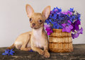 Puppy Chihuahua  and flower Royalty Free Stock Images