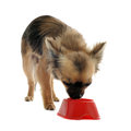 Puppy chihuahua and food bowl Stock Images