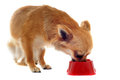Puppy chihuahua and food bowl Royalty Free Stock Image