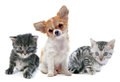 Puppy chihuahua and kitten portrait of a cute purebred in front of white background Stock Photography