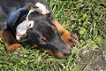 Puppy with cropped ears doberman lying on grass Royalty Free Stock Photo