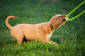 Puppy dog ​​plays with the leash in grass Royalty Free Stock Photography