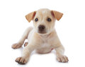 Puppy dog Royalty Free Stock Image