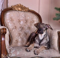 Puppy dog on the couch Royalty Free Stock Photo
