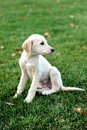 Puppy dog labrador retriever months old Stock Photo
