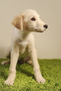 Puppy dog labrador retriever months old Royalty Free Stock Image