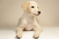 Puppy dog labrador retriever months old Stock Image