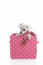 Puppy dog in love heart box small white wearing a winter scarf and a pink and white Stock Image