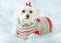 Puppy dog lying in icy snow a small fluffy white wearing a cosy knitted striped sweater lays winter fantasy Royalty Free Stock Images