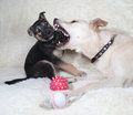 Puppy and dog playing on white sofa fur Royalty Free Stock Photography