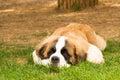 Puppy dog saint bernard breed portrait Stock Photography
