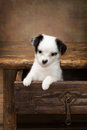 Puppy in a drawer adorable begging chihuahua sitting of an antique coffee table Royalty Free Stock Photos