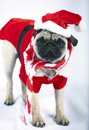 Puppy dressed like Santa Claus Stock Photography