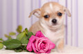Puppy with a flower Royalty Free Stock Photo