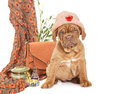 Puppy of french mastiff breed cute with women accessories looking at camera Royalty Free Stock Images