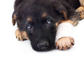 Puppy german shepherd dog with bandage on a white background Stock Image