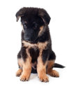 Puppy german shepherd dog on a white background Stock Photography